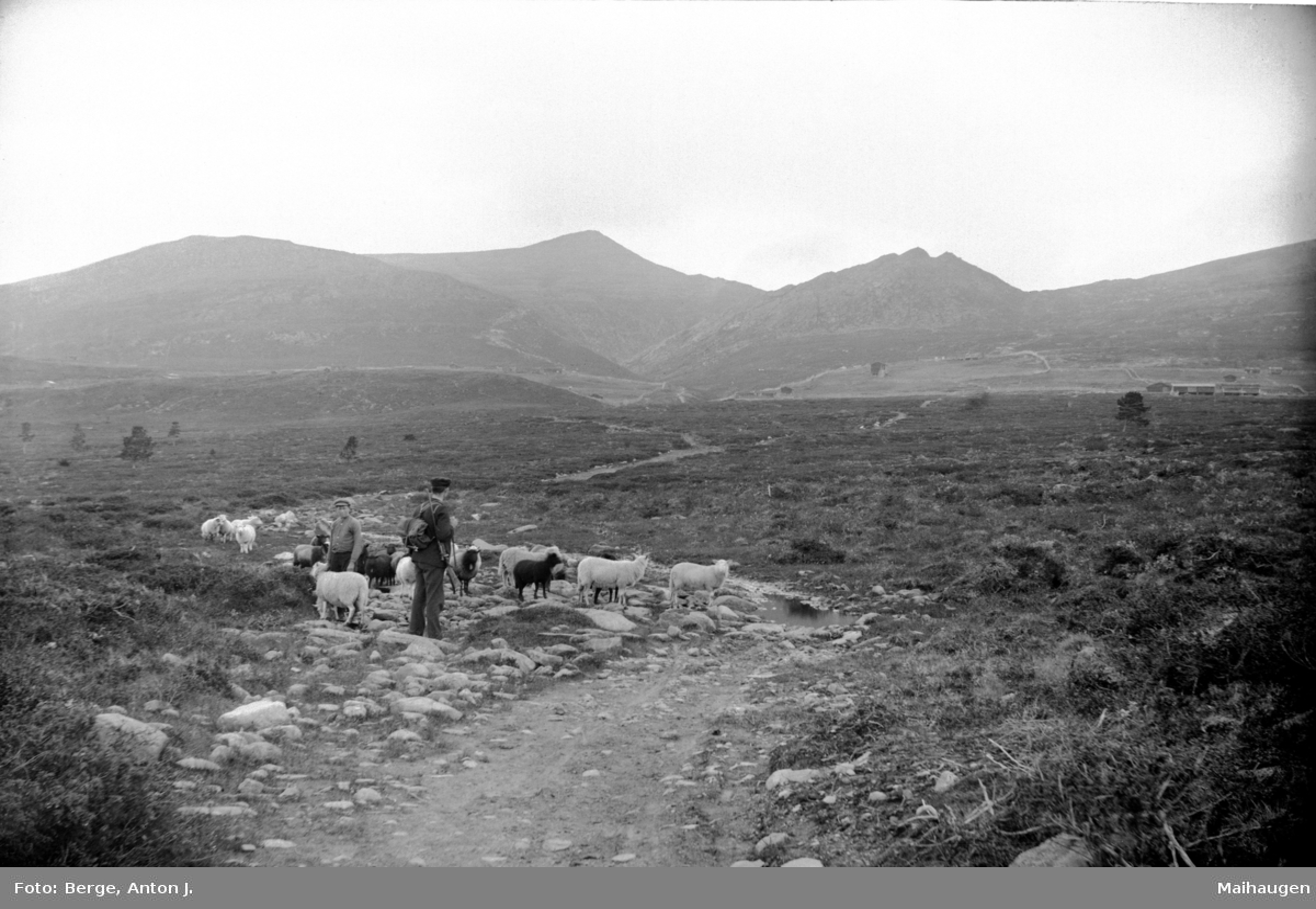 Gravdalen i Nord-Fron 1910-16. Ei sæter i bakgrunnen. Sauegjeting