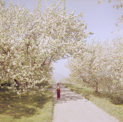 Gutt under blomstrende frukttrær 1958-59