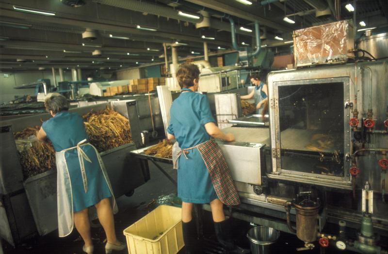 Fabrikkinteriør. Produksjon av tobakk hos Tiedemanns Tobaksfabrik.