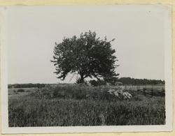 Odlingsröse med träd.