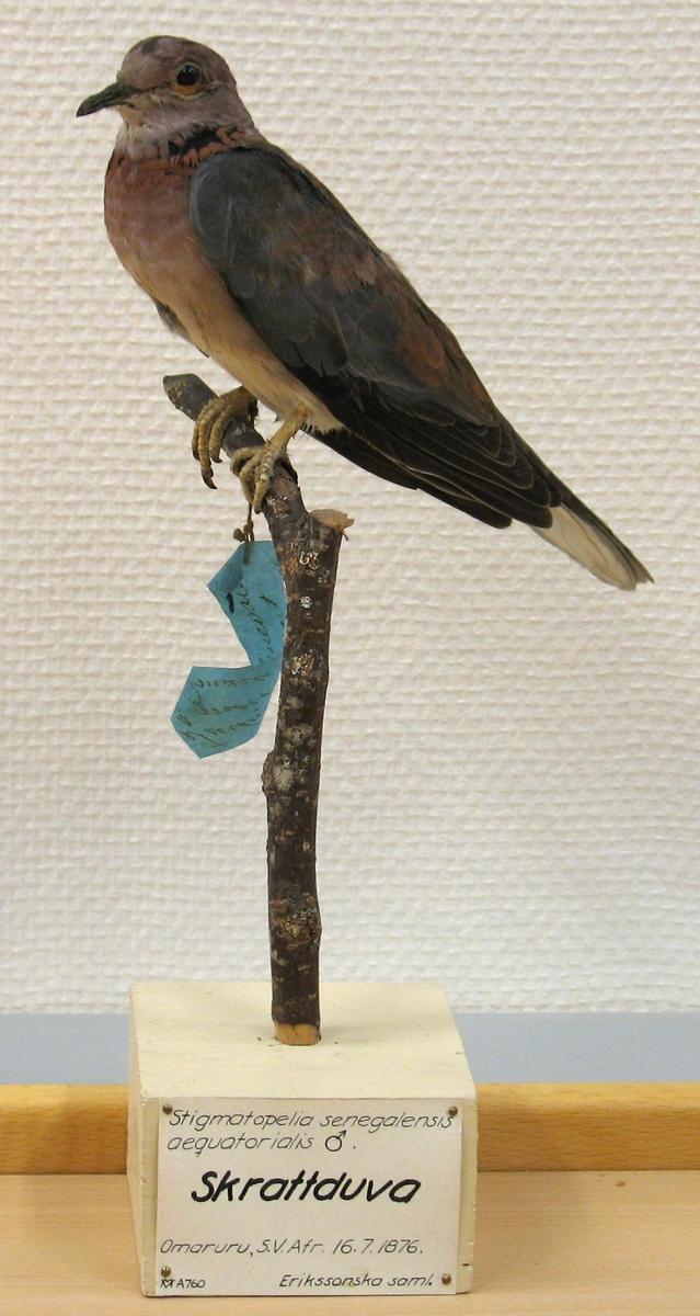 Fågel monterad på pinne. Hane.  Streptopelia s. senegalensis (Linnaeus) 1766, palmduva. C. F. Luindevall (1987) - Streptopelia s. senegalensis (Linnaeus) 1766, palmduva.  G. Rudebeck (1955) - Stigmatopelia senegalensis aequatorialis, hane. Skrattduva. Omaruru, Sydvästafrika. 16.7.1876.  A. W. Eriksson - Turtur senegalensis, hane. Mörkt brunt. Omaruru 16/7 1876.  Litt. Gustaf Rudebeck, South African Animal Life, vol II, Stockholm, 1955.