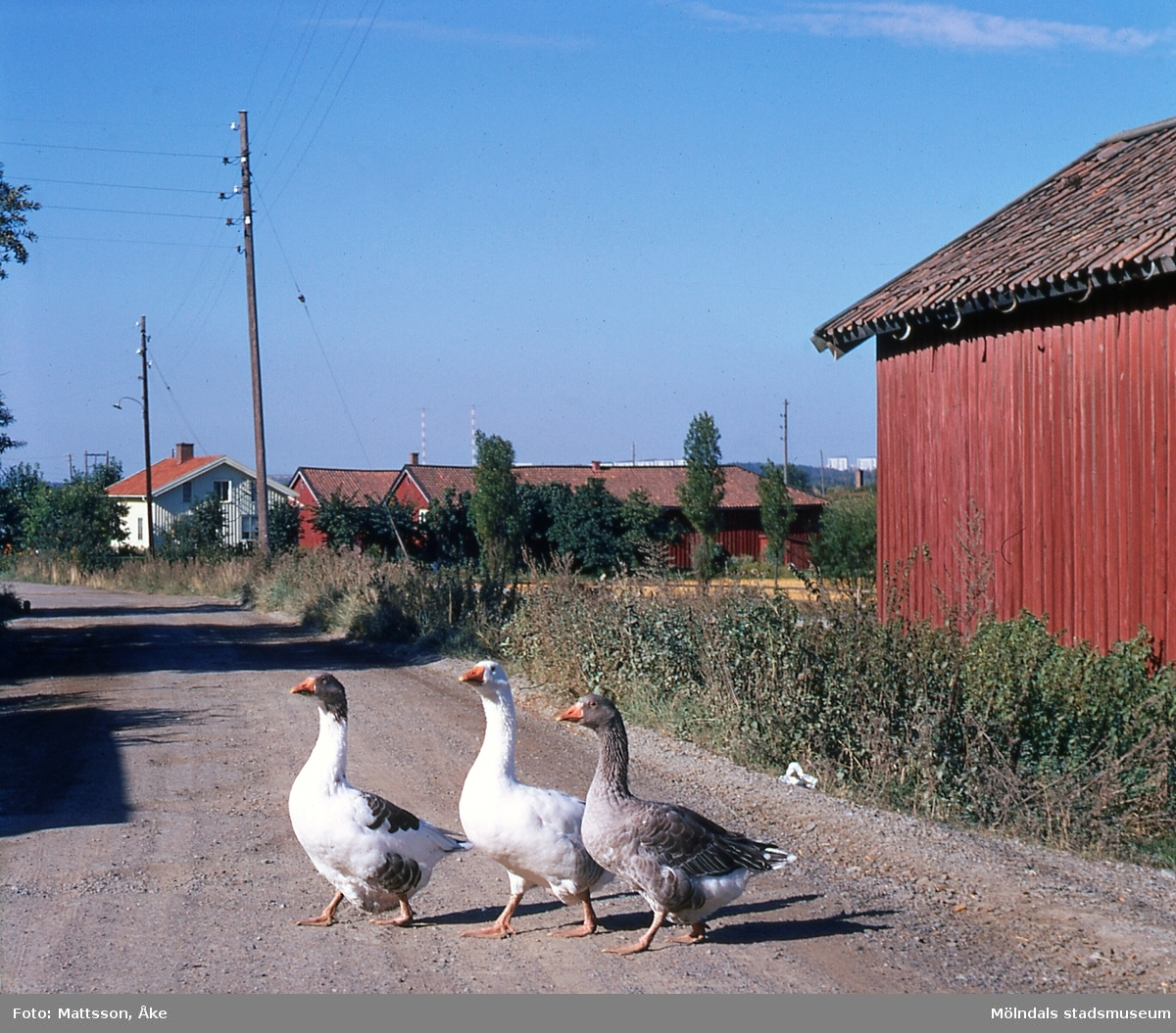 Tre gäss går över vägen vid Östergården 7 i Balltorp, Mölndal, på 1960-talet. I bakgrunden ses bebyggelse på Östergården 3.