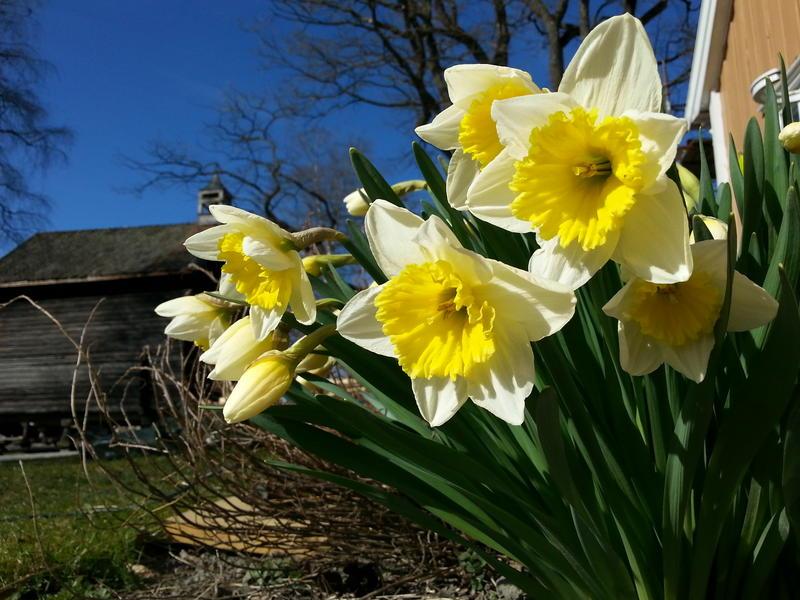 Narcissus Ice Follies (Foto/Photo)