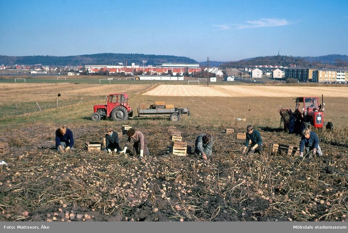 Torbjörnsgården 2 i Kärra, Mölndal, på 1960-talet. Potatisupptagning hos Zackrisson. I bakgrunden ses Åby och två av husen Solgårdarna. ÅM 6:9.