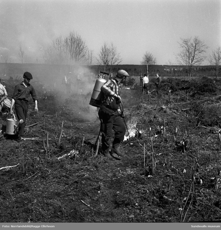 Hyggesbränning vid Bogrundet i Sörberge, inför anläggandet av Vifstavarvs plantskola.