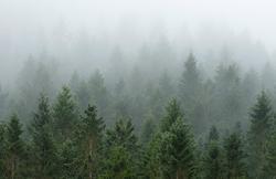 Granskog på en regn- og tåkefull høstdag 2017.  Fotografiet