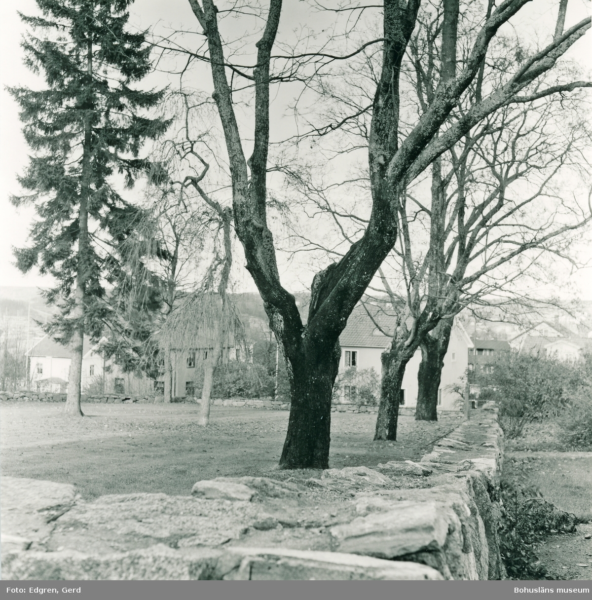 """Text till bilden: """"Kolerakyrkogården. Östra delen av kyrkogården. I mitten syns en hängask - ett ympat träd som ofta återfinns på kyrkogårdarna i landskapet""""."""