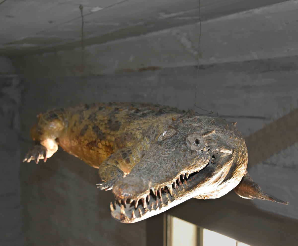 Krokodil, brun, uppstoppad.