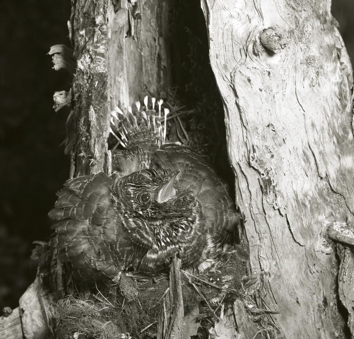 En gökunge i ett fågelbo med uppfluffad fjäderdräkt den 7 juli 1961.