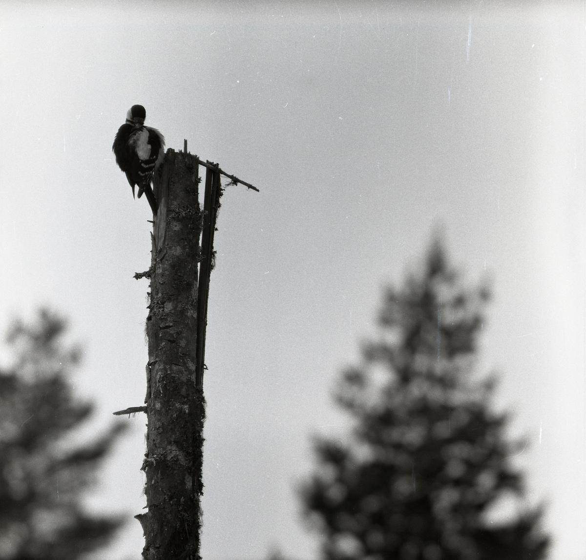 En större hackspett sitter i ett träd och putsar fjäderdräkten den 1 april 1956.