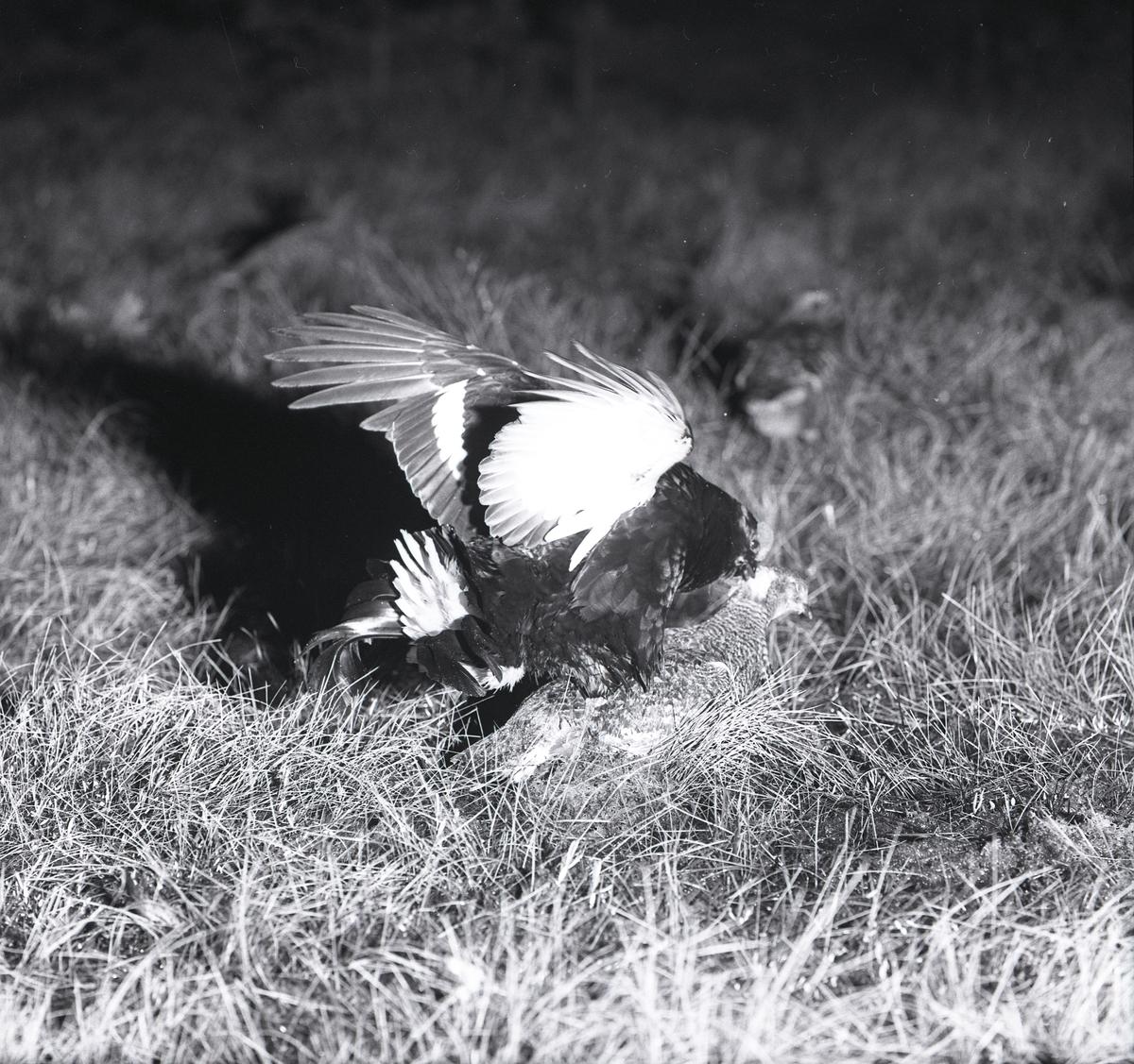 En orrtupp försöker para sig med en uppstoppad orrhöna i gräset, maj 1962.
