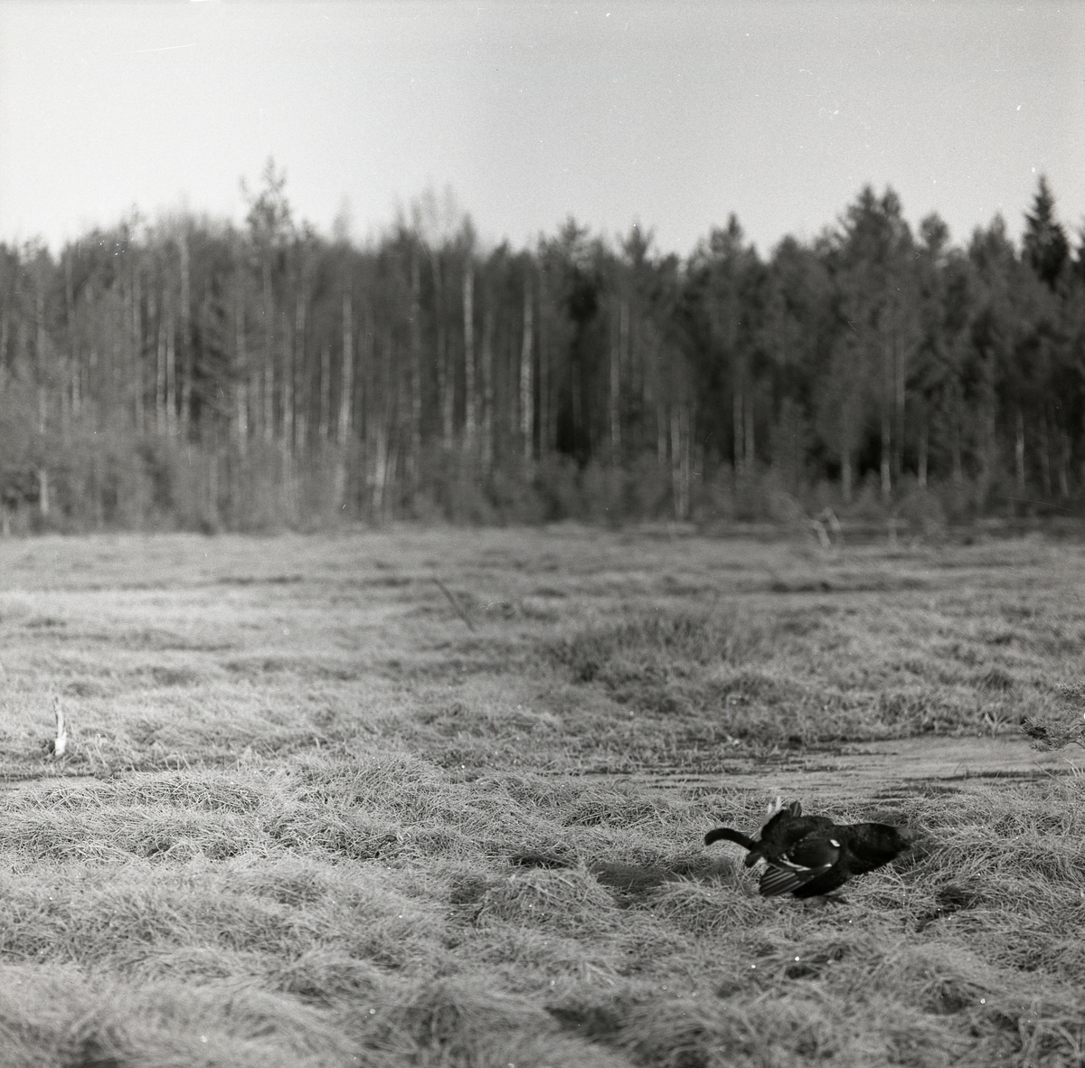 En orre på gräset vid en skog i Degelmyren 3 maj 1964.