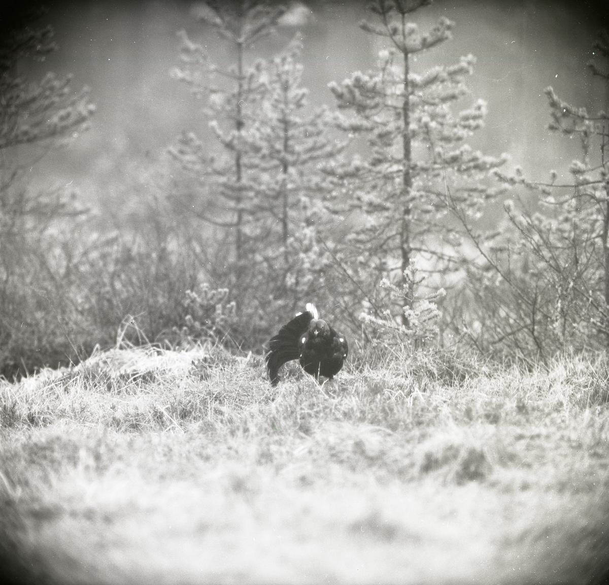 Vid Degelmyren står en orre med få stjärtfjädrar i gräset vid en tallskog den 3 maj 1964.