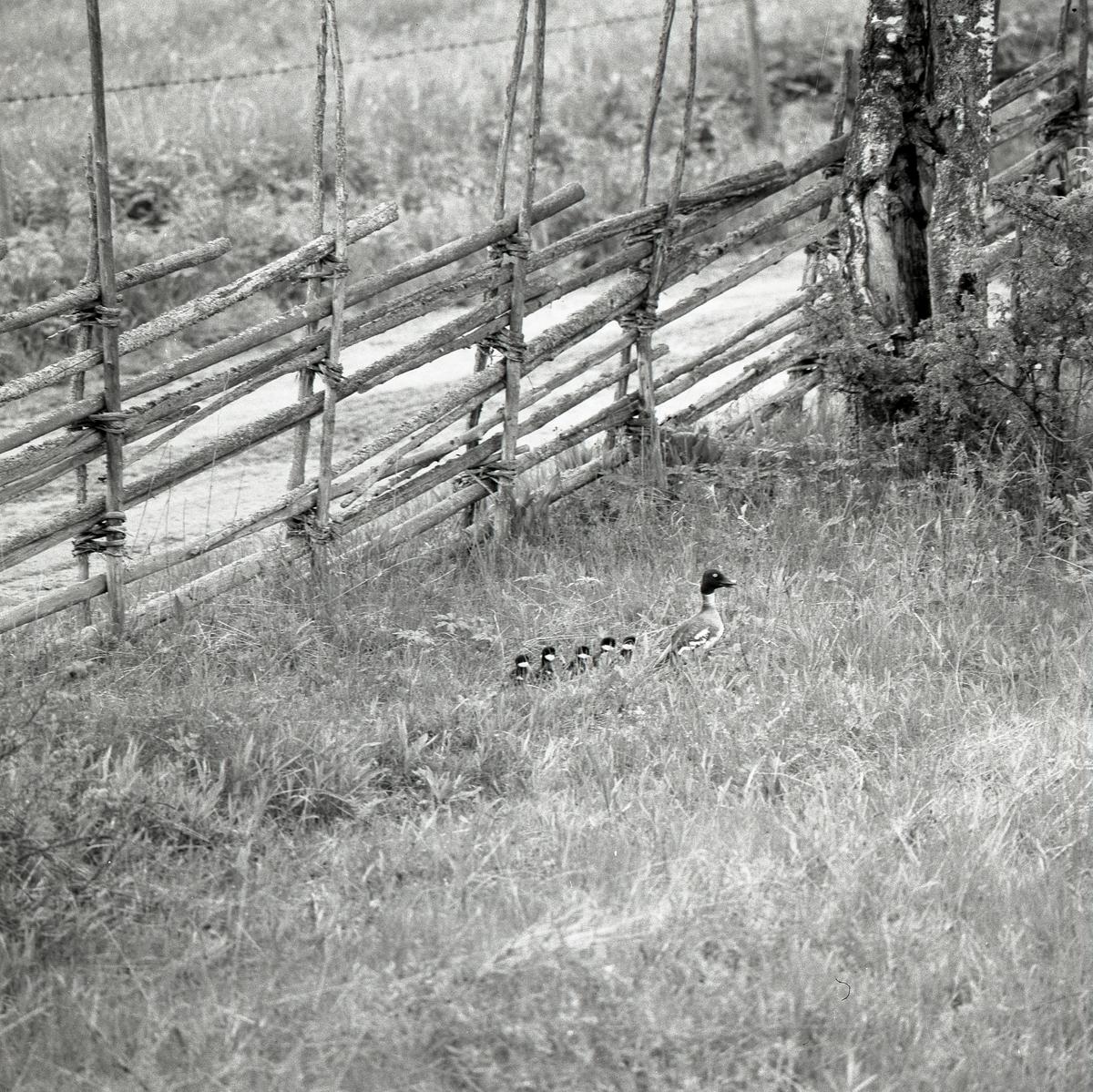 En and med ungar går på rad i gräset vid en gärdesgård i juni 1972.