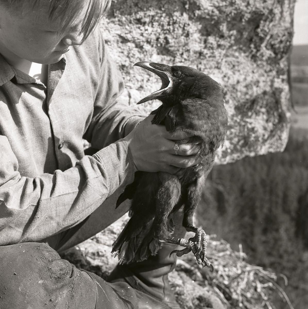 Närbild av pojke som sitter på en klippa och håller i en korp, maj 1962.