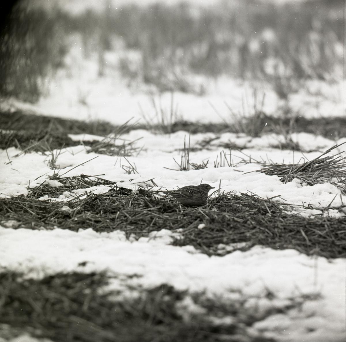 En sånglärka sitter på delvis snötäckt mark.