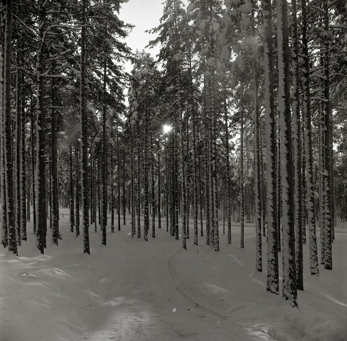 Sol mellan trädstammar i snötäckt skog, Skoghem, Rengsjö, Julafton 1962.