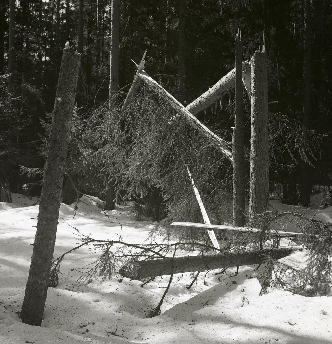 Avbrutna granar i Jonses skog vid Stenbron, 1962.