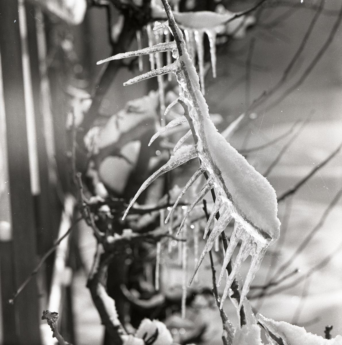 En kvist med hängande istappar i Västansjö, 1958.