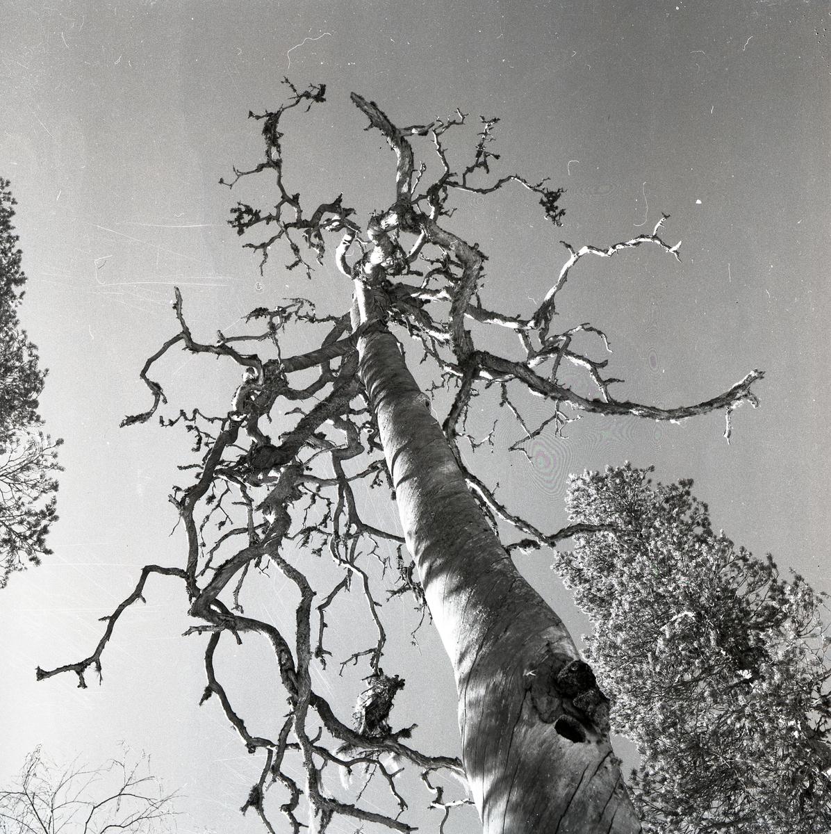 Ett dött träd utan bark, så kallad torrake, vid Mogränsberget i maj 1961.