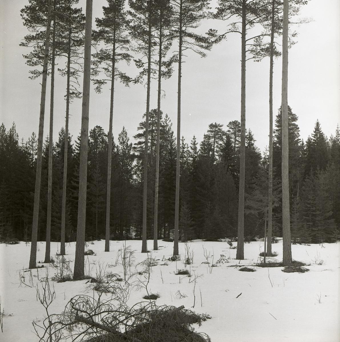 En grupp tallar med långa stammar vid Toresslätten, 1962.
