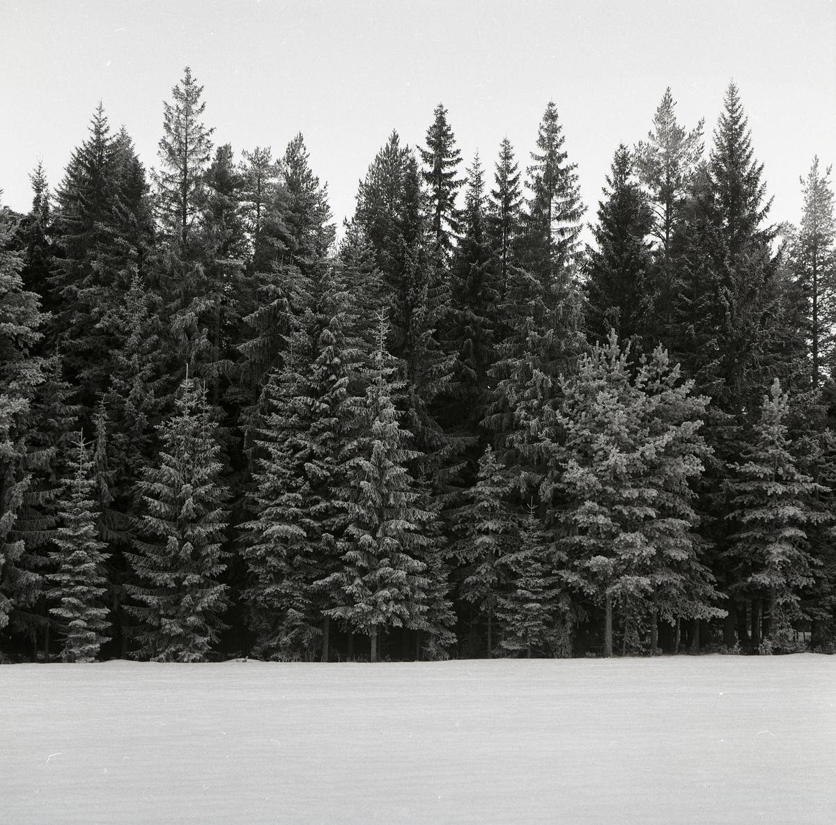 Snötäckta granar intill en väg, 1979.