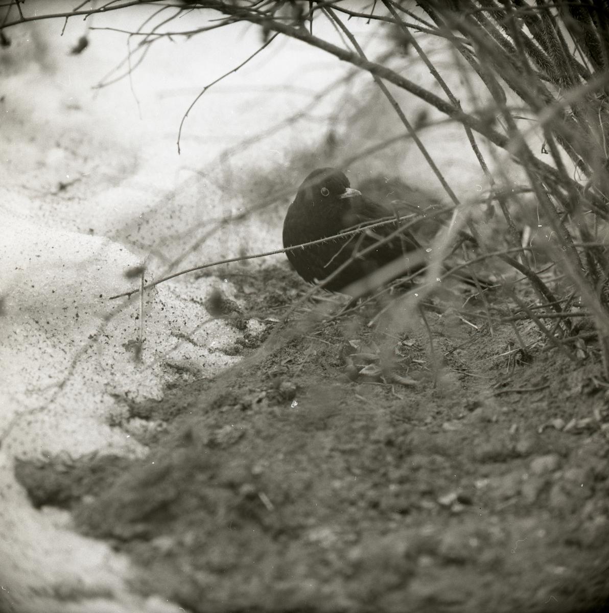 En koltrast sitter på marken bakom en buske under vårvintern 1971.