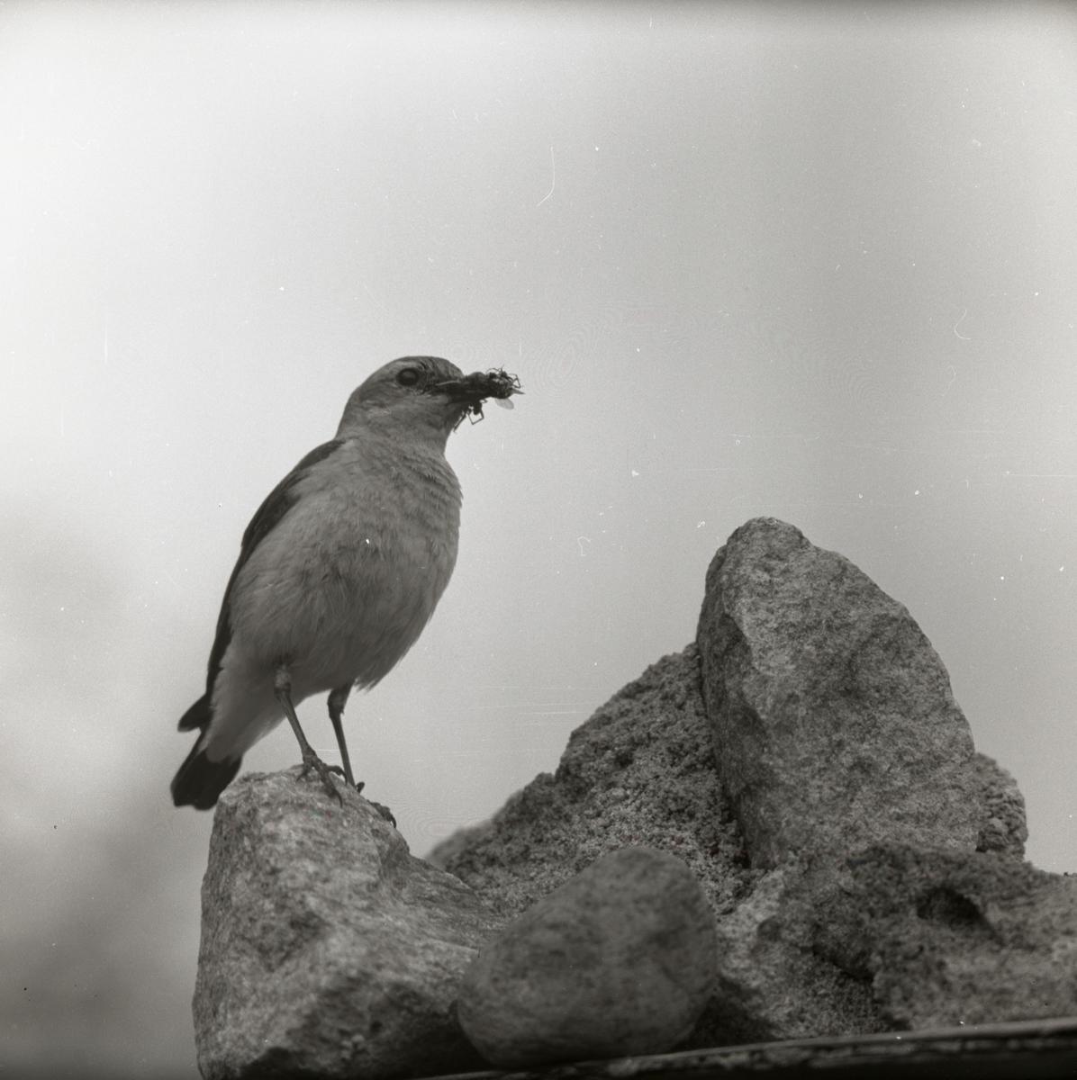 En stenskvätta sitter på en sten med ett byte i näbben, 1959.