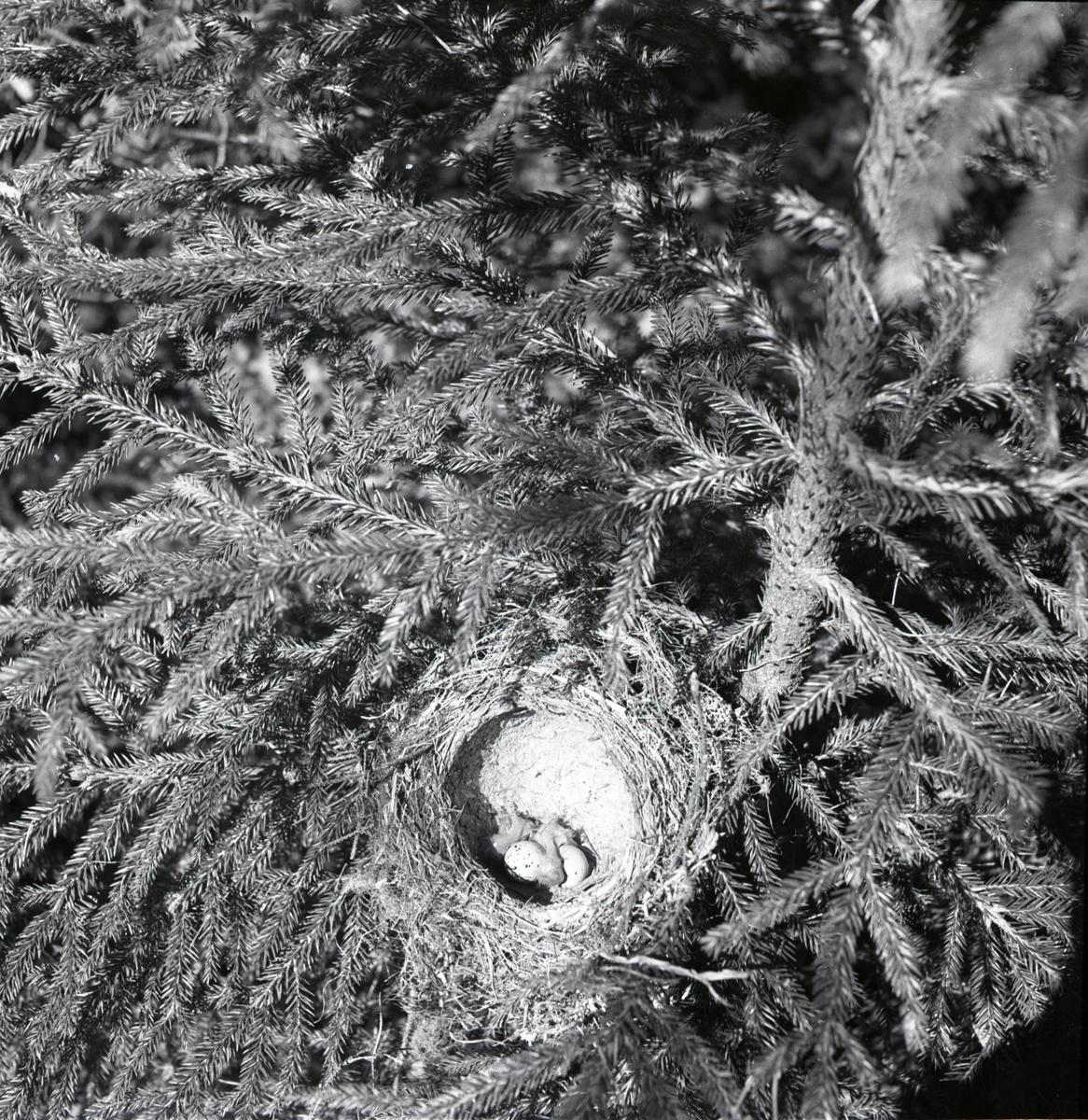 Ett taltrastbo byggt i en gran, juli 1951. I boet ligger ungar och okläckta ägg.