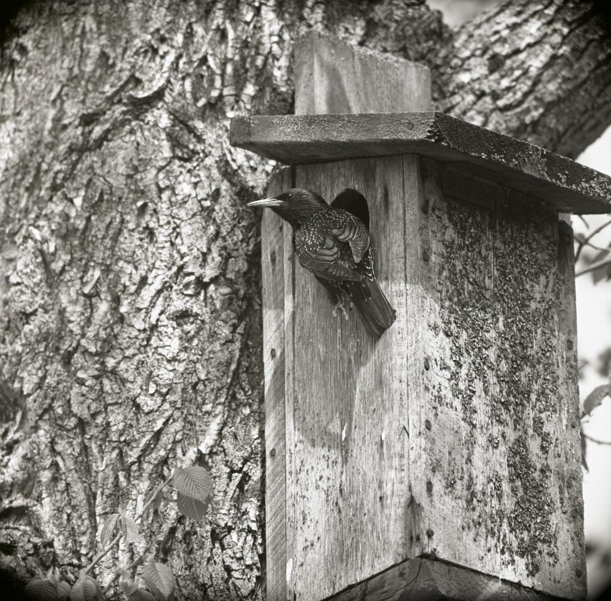 En stare sitter vid öppningen till en fågelholk, juni 1962.