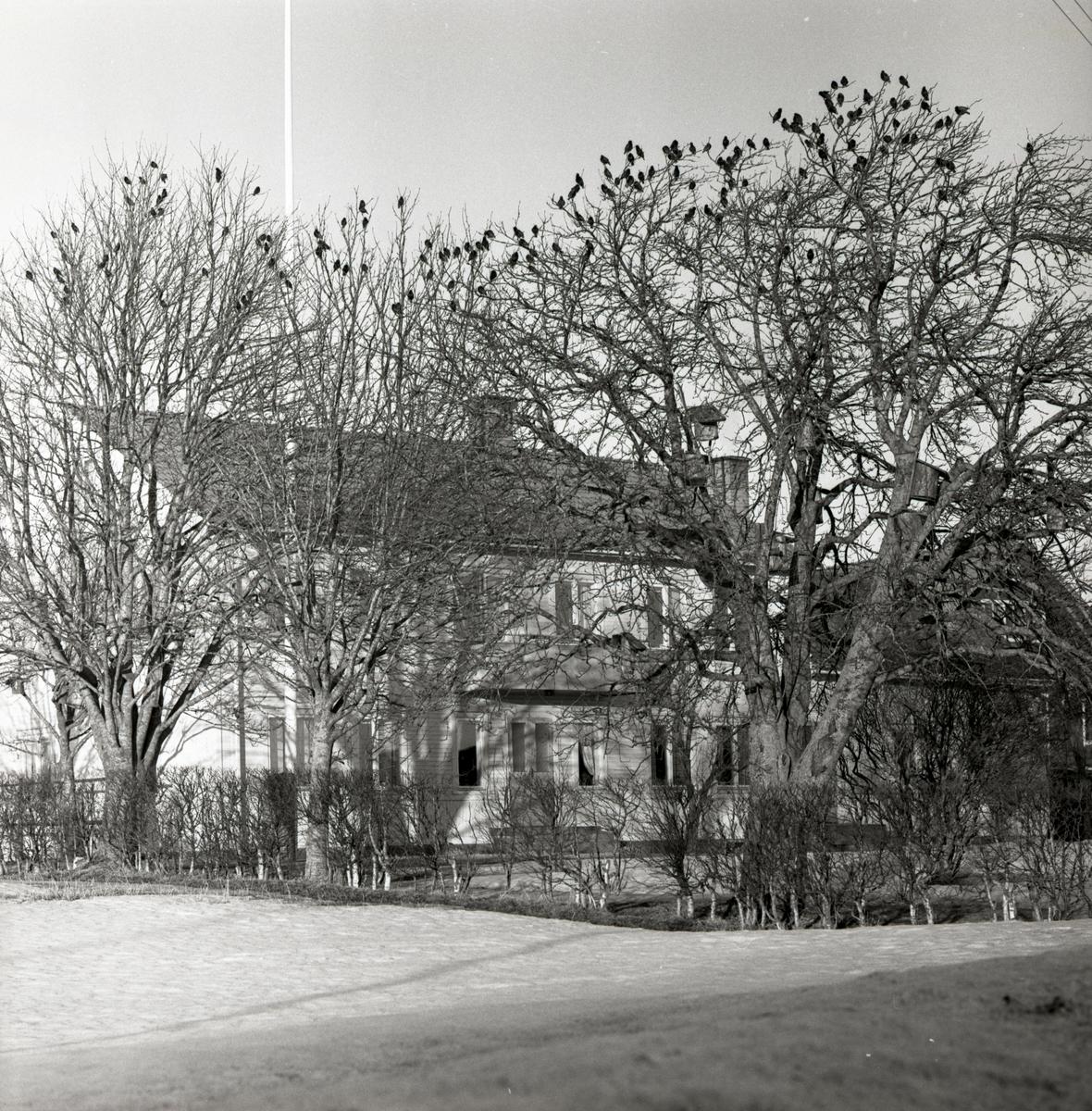En starflock sitter i ett träd i Flästa, våren 1960.