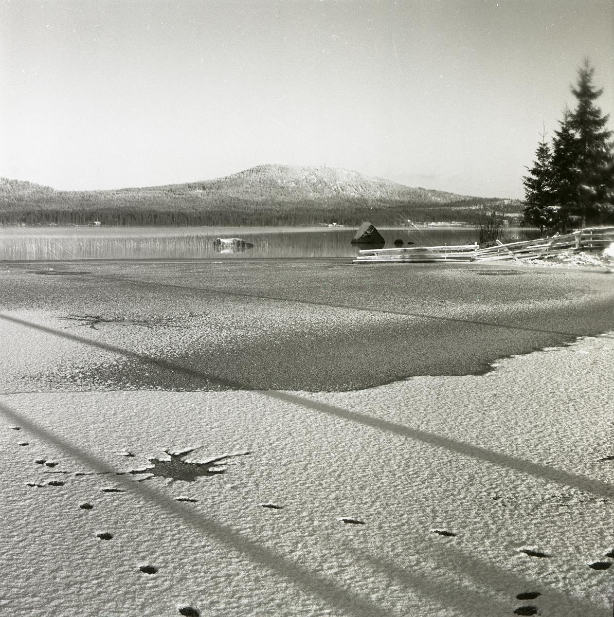 Rävspår vid en vak på Hölesjön, 1961.