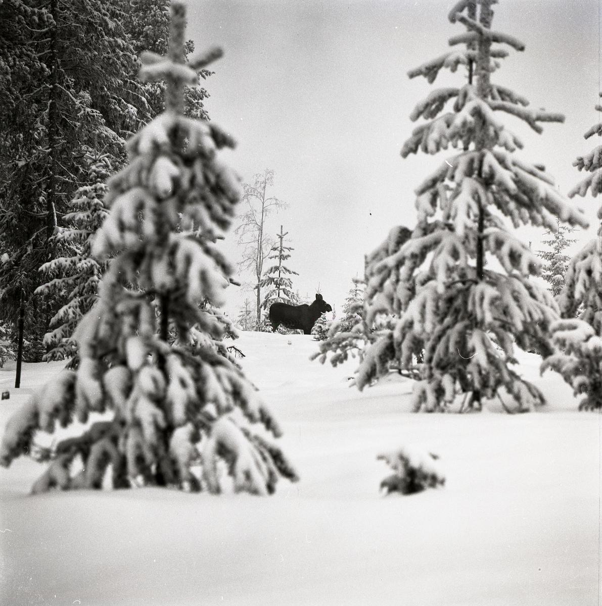 En älg bland snöiga granar vid Fluren, 1972.