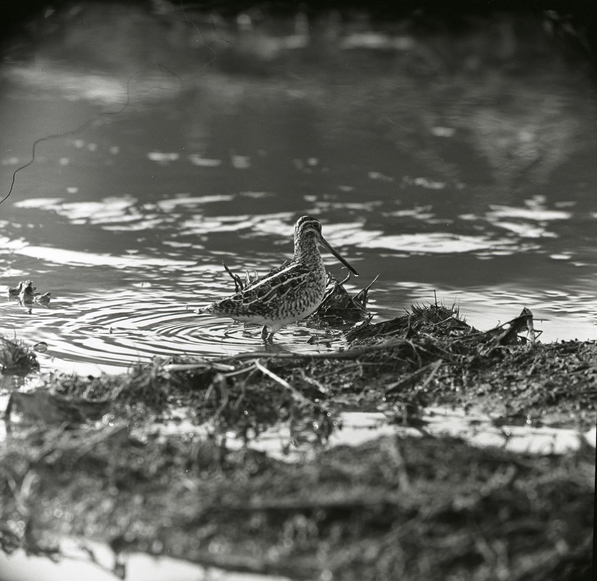 En enkelbeckasin står intill en åkant, våren 1964.