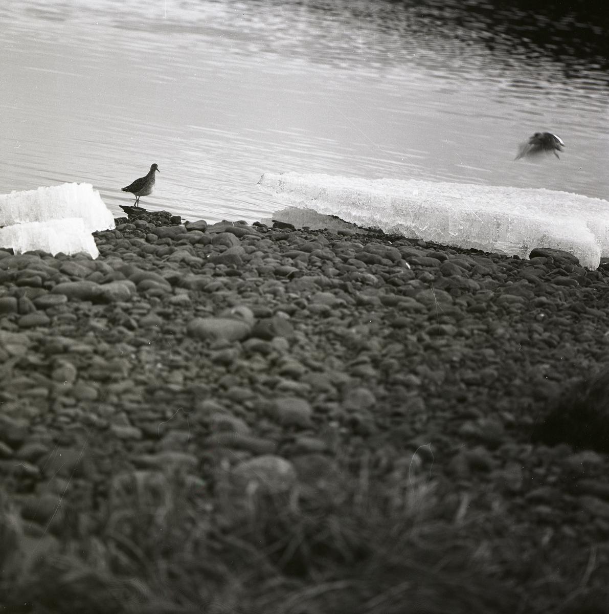 En stående och en flygande brushane intill ett vattendrag, 21 maj 1969.