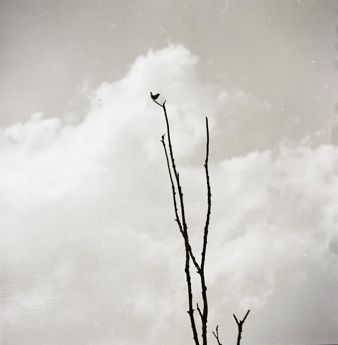 En törnskata sitter i en trädtopp, 1973.