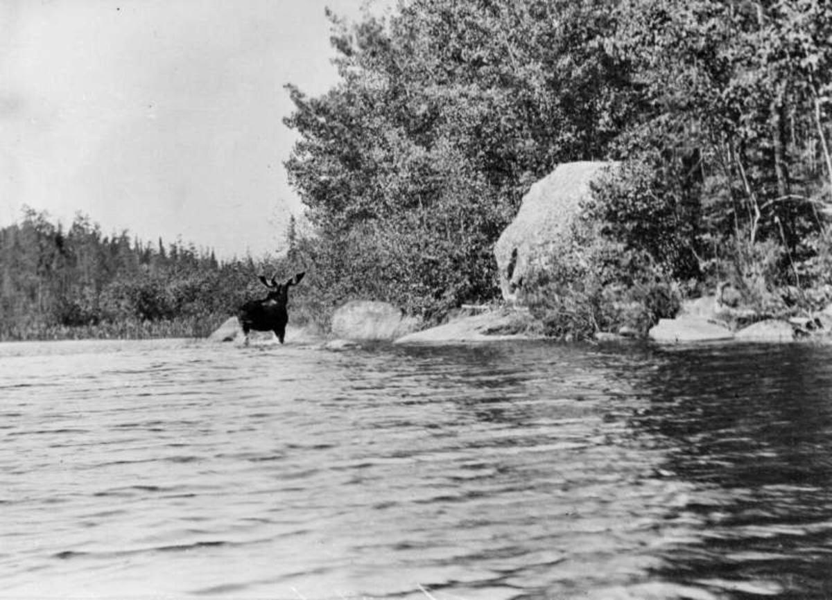 USA. Nord-Dakota? Elg i vannkanten.