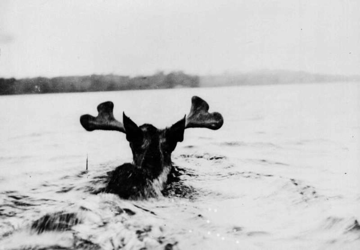 USA. Nord-Dakota? Elg som svømmer.