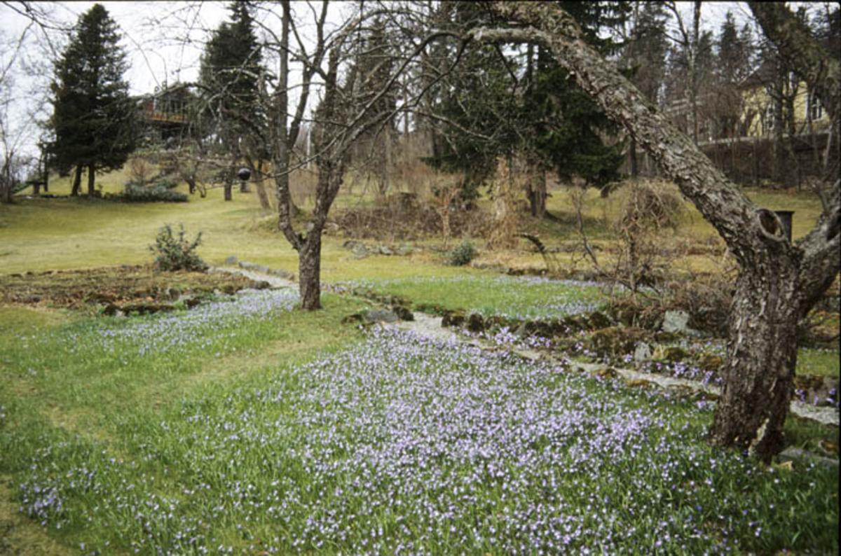 Scilla - lignende små blå blomster i plenen.
