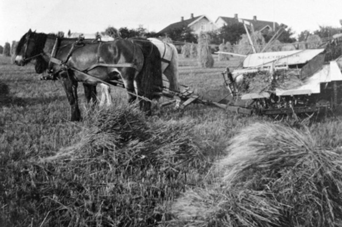 Skuronn på Vetten, Jessnes, Ringsaker. Hest med sjølbinder. Kjørekar er Birger K. Wetten f.1892.