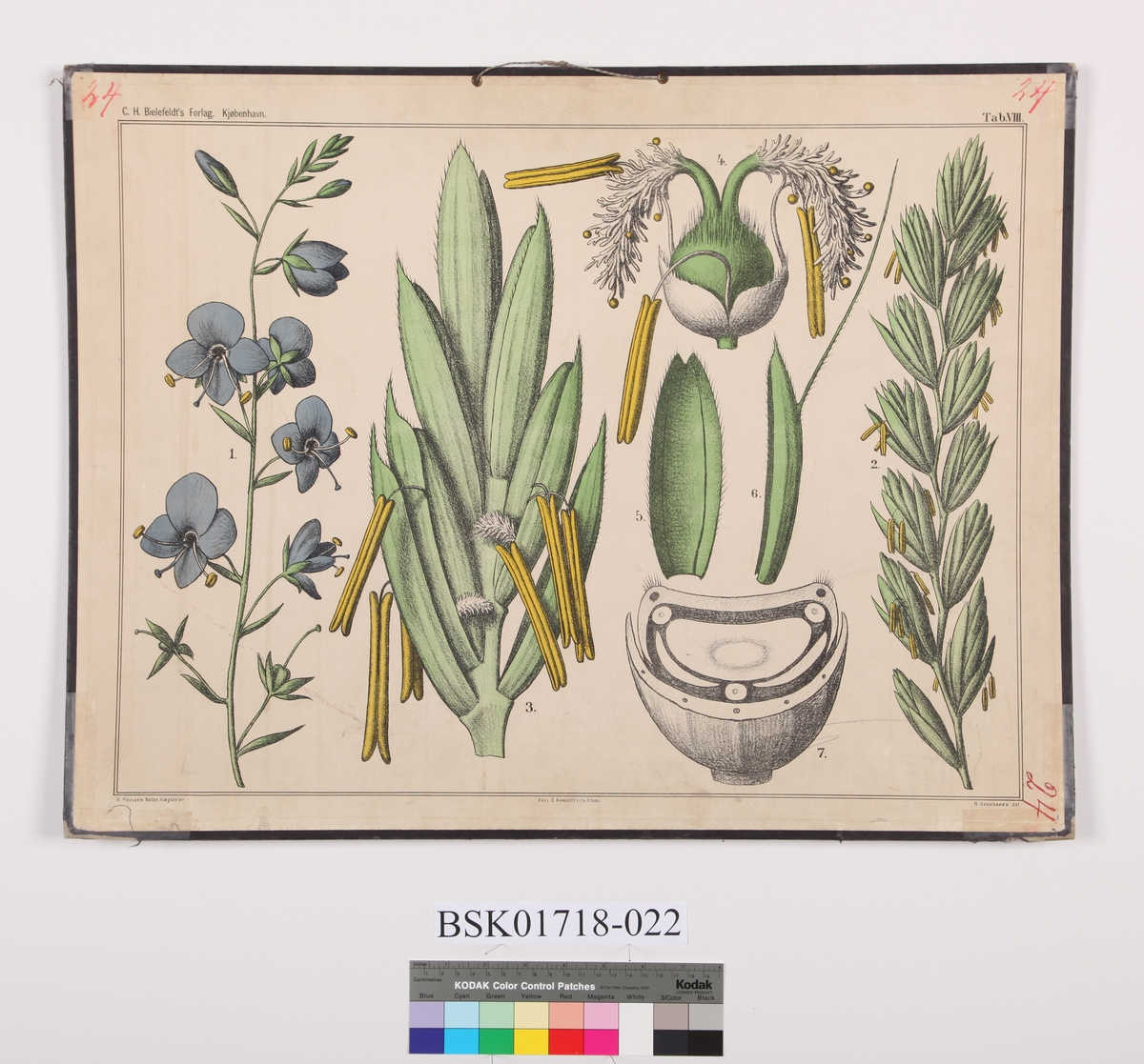 Blomst. Veronika-støvbærere