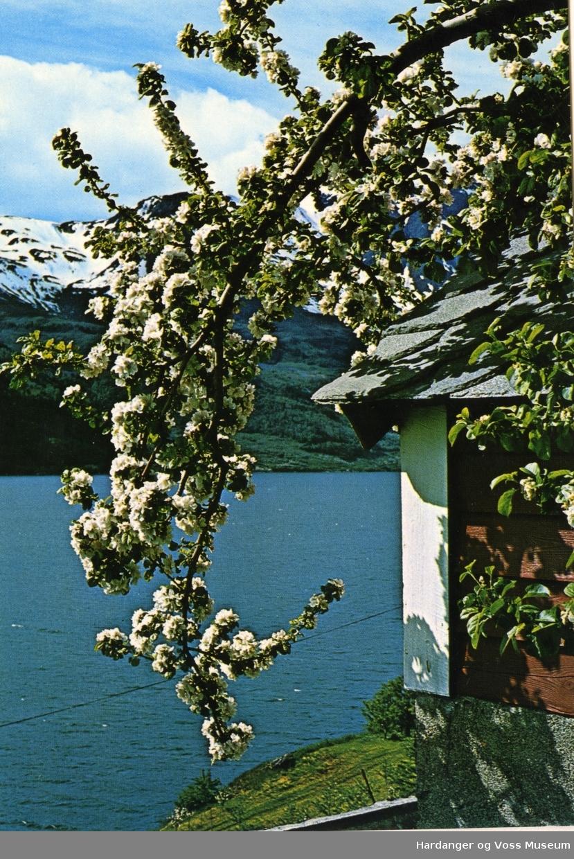 Frukttre i blom, Sørfjorden
