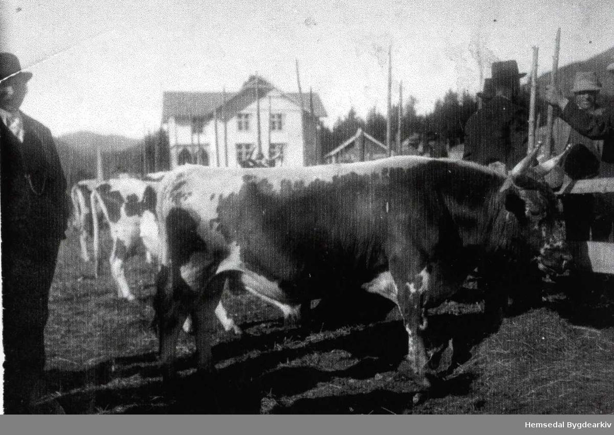 """Dyrsku i 1921 ved Heradshuset (Tingbygnaden). I framgrunnen oksen """"Frode""""."""