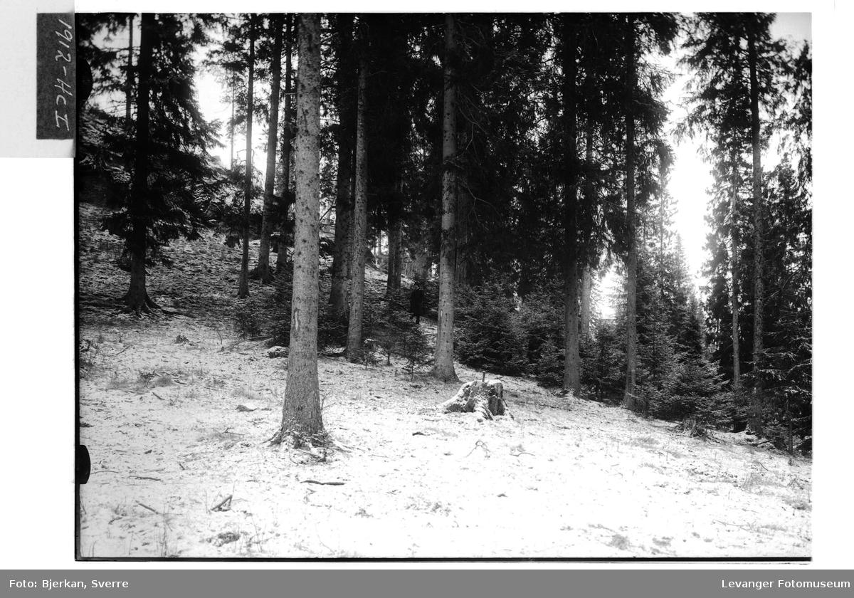 Hugstmoden skog II
