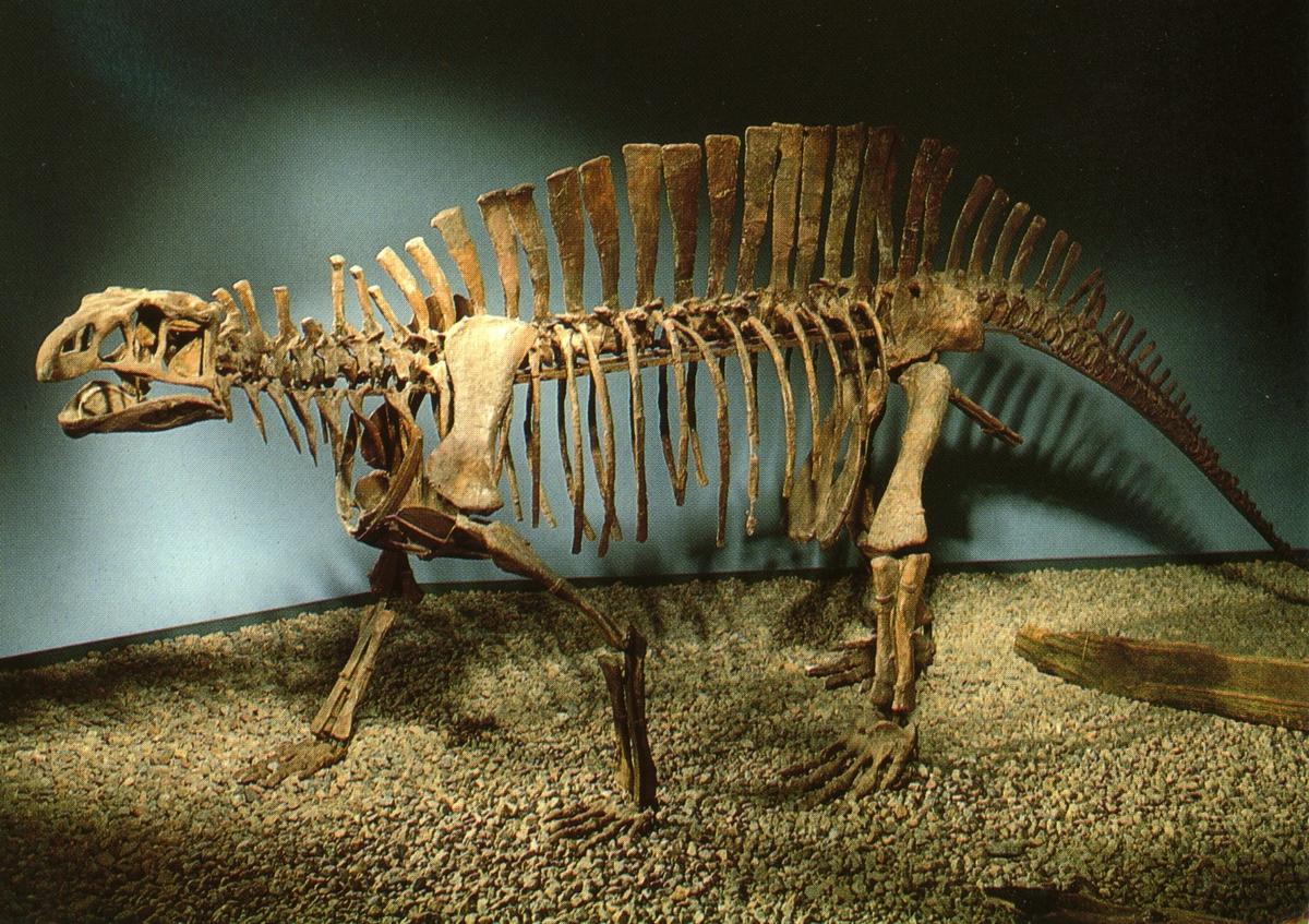'Ingår i en serie med Fotonr. 5419 med Göteborgs Naturhistoriska museums olika vykort genom åren. ::  :: Skelett från en Thecodont (dinosaurie).'