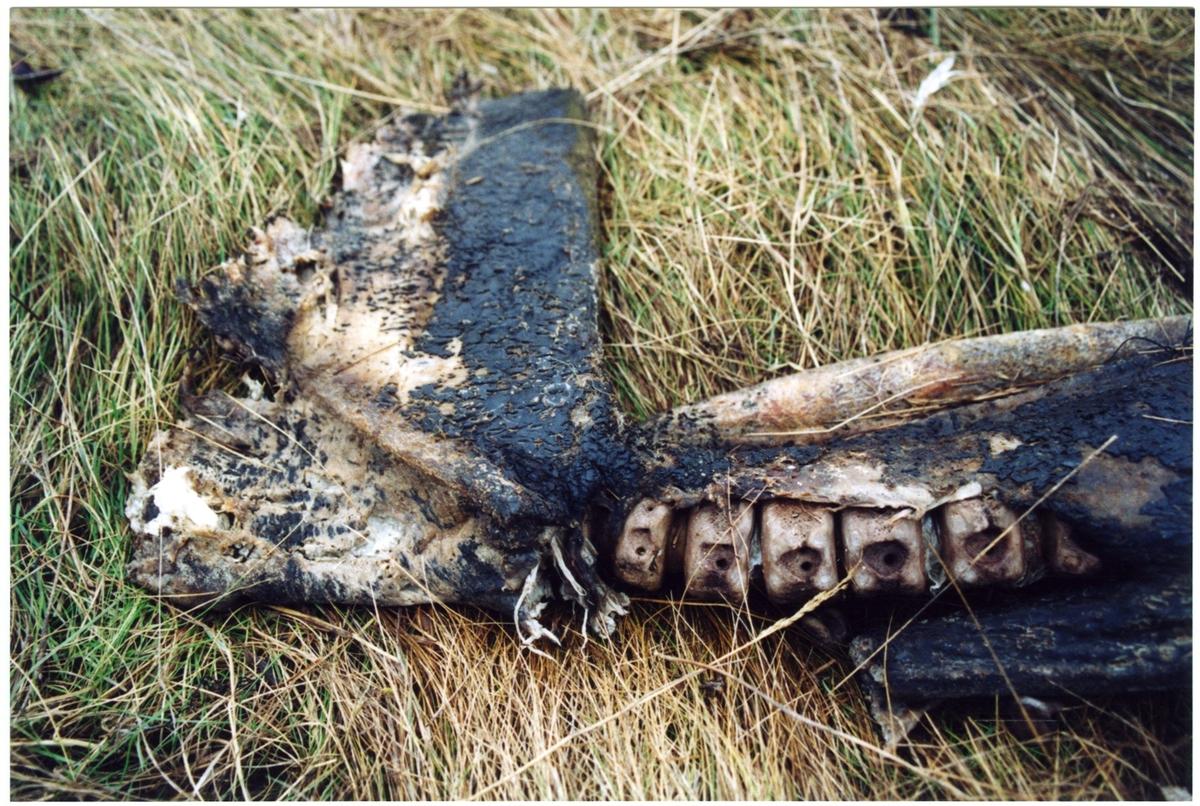 'Strandad och torkad Vitnosdelfin fotograferad på fyndplatsen: ::  :: Helbild på kroppen, liggande i gulnat högt gräs. Närbild på stjärtdelen. ::  :: Ingår i serie med fotonr. 6072:1-8.'