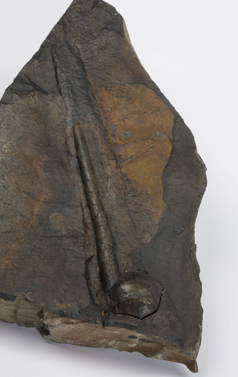Fossil BLEKKSPRUTSKALL MED BRA SIFO