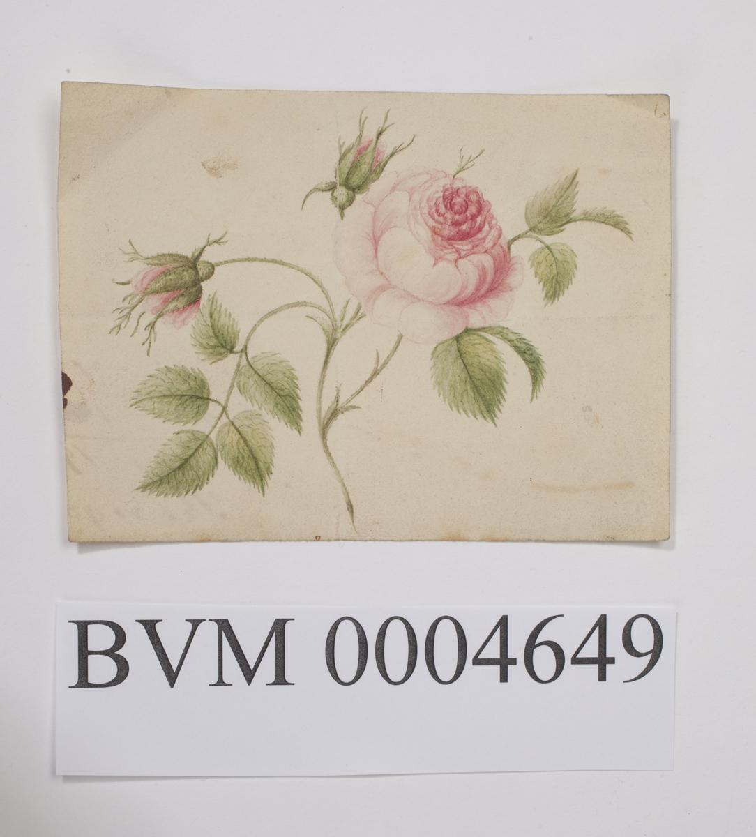 Fargetegning av rose. Trolig tegnet på gjenbrukt papir. Jf. noe tekst bak på arket.
