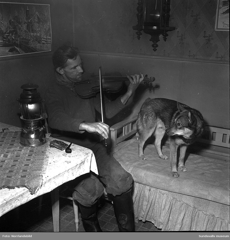 Efter åtskilliga år som skogsarbetare på skilda håll i Norrland hade Axel Westin kommit tillbaka och övertagit föräldragården i Oxsta by i Selånger. Westins gård var den enda i byn som ännu 1951 saknade elektriskt lyse. Långa vinterkvällar fördrev ungkarlen Westin med fiolen i hand i fotogenlampans ljus och med sin trogne åhörare gråhunden Bing på sofflocket.