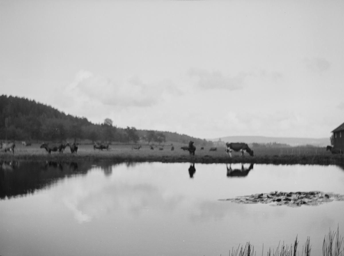 Kuene ved dammen. I bakgrunnen sees lave skogkledte åser.